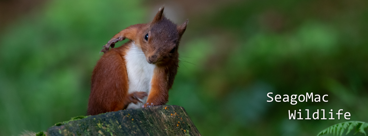 Red Squirel, Yorkshire Dales