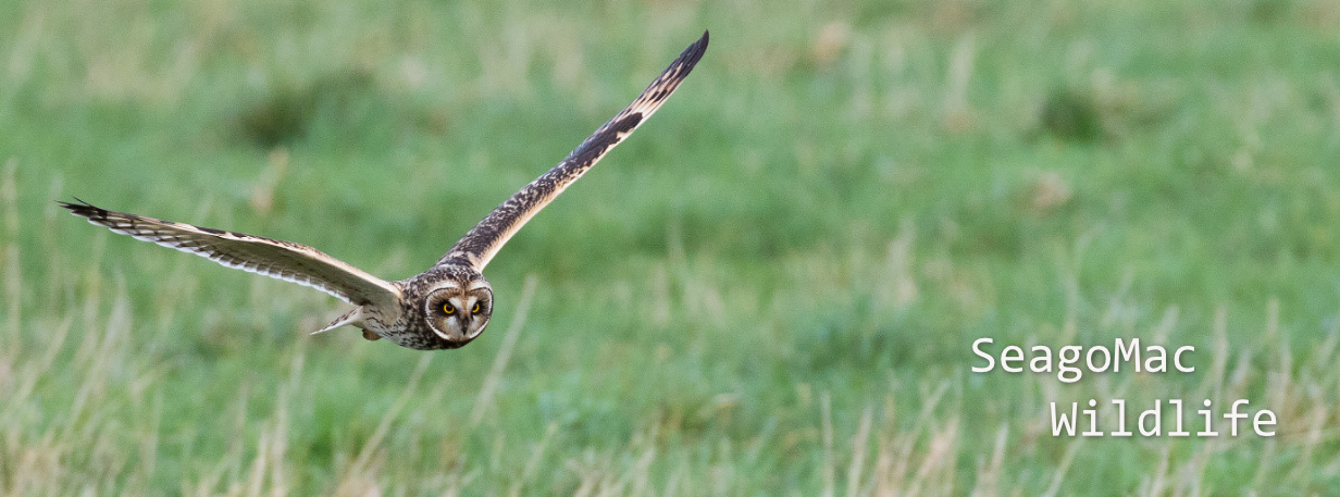 Short-eared Owl, Norfolk