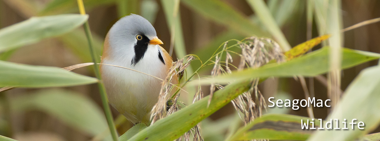 Bearded Reedling, Norfolk
