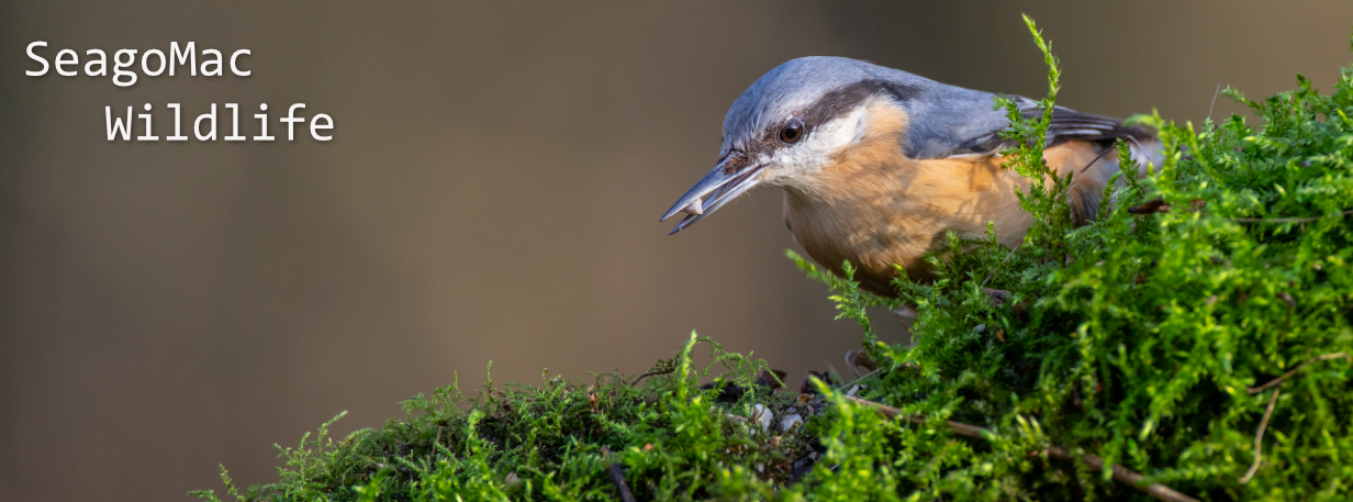 Nuthatch, Suffolk