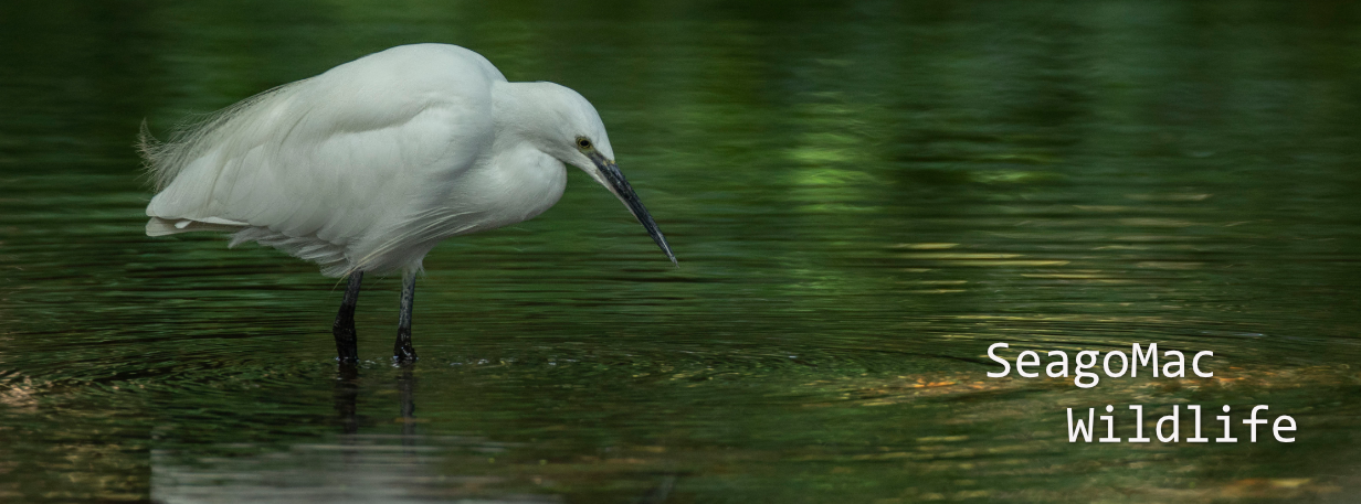 Little Egret, Suffolk