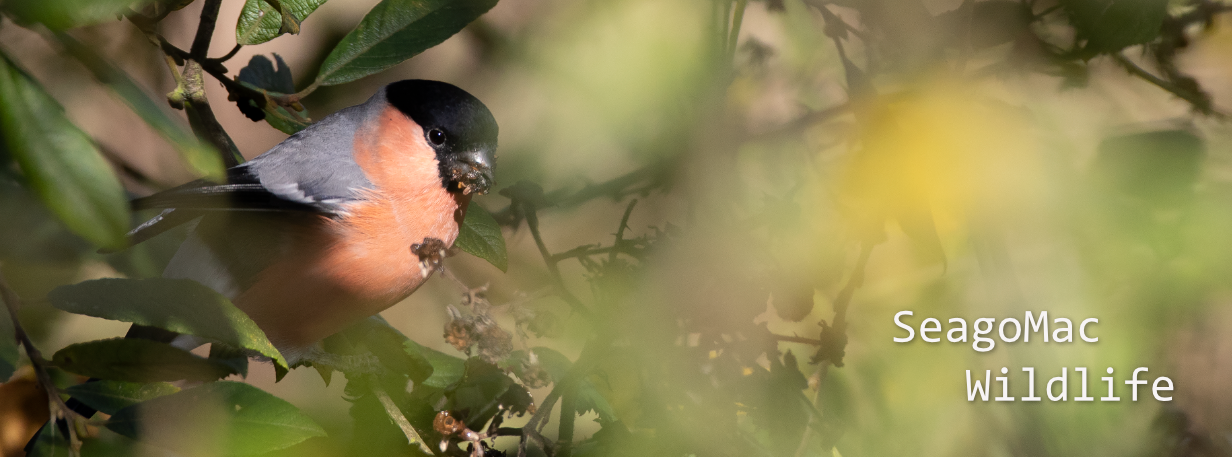 Bullfinch, Suffolk
