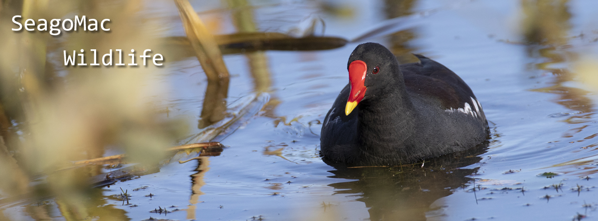 Moorhen, Suffolk